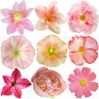 Set of Pink Flowers Isolated on White  — Photo