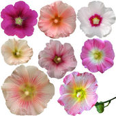 Set of mallow flowers on white background — Stock Photo