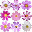 Stock Photo: Set of 9 summer cosmos flowers