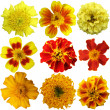 Marigold flowers set on a white background — Stock Photo #30274831