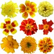 Marigold flowers set on a white background — Stock Photo