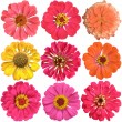 Set of  colorful flowers of zinnia isolated on white background  — Stock Photo