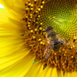 Closeup Sunflower with bee  — Stock Photo