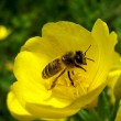 Bee on yellow flower background  — Stock Photo