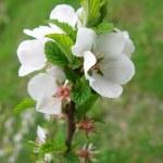 Spring blossom background — Stock Photo #31393947