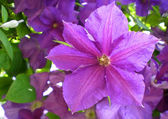 Close-up of purple clematis flower — Stock Photo