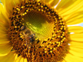 Close up of bee on sunflower — Stock Photo