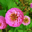 Close-up of pink zinnia flower on top — Stock Photo #31400139