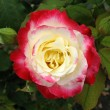 White - red rose — Foto Stock