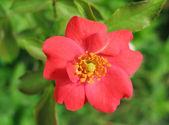 Wild red rose — Stock Photo