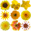 Collage of isolated yellow flowers — Stock Photo