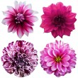 Set of dahlia flower heads isolated on white  — Stok fotoğraf
