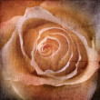 Beautiful Rose Background  — Stock Photo