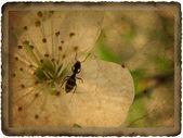 Staré pohlednice s několika třešňové květy a mravenec — Stock fotografie