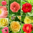 Beautiful collage of roses — 图库照片