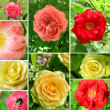 Beautiful collage of roses — Foto Stock