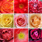 Beautiful collage of different roses — Stock Photo