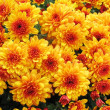 Autumnal chrysanthemum background  — Stock Photo