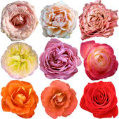 The rose blooms — Stock Photo