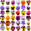 Stock Photo: Pansies on White background
