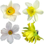Narcissus flowers isolated on white background  — Stock Photo