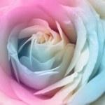 Peach rose — Stock Photo