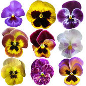 Pansies on White background  — Stock Photo