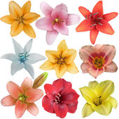 Collection of nine different lily flower heads isolated on white — Stock Photo