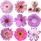 Collection of pink  flowers isolated on white  — Stock Photo