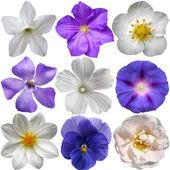 синие и белые цветы, изолированных на белом фоне — Стоковое фото
