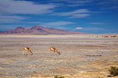 Vicunas in the Salar de Tara, Chile — Stock Photo