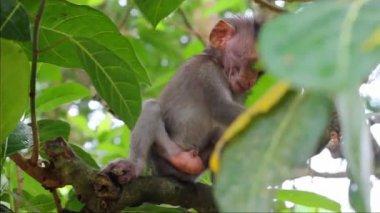 Petit singe sur la branche dans une forêt des singes sacrés, ubud, bali, indonésie — Vidéo