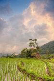 Sunset over rice fields terrace, Bali — Stock Photo