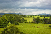 Scottish landscape with cows on meadow — Stock Photo