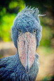 African Shoebill (Balaeniceps rex) — Stock Photo