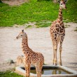 Baby giraffes in a zoo — Stock Photo #24930231