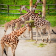 Giraffes in the zoo — Stock Photo #24930949
