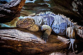 Rhinoceros Iguana (Cyclura cornuta) — Stock Photo