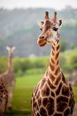 Hayvanat bahçesinde zürafa — Stok fotoğraf