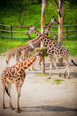 Giraffes in the zoo — Stock Photo