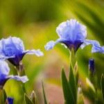 Blue iris flowers growing in garden — Stock Photo #45760215