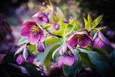 Purple hellebore flower — Stock Photo