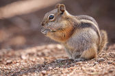 Chipmunk in the Rocky Mountain National Park — Stock Photo