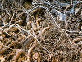 Roots snarl — Stock Photo