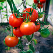 Home grown tomatoes — Stock Photo