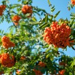Ripe rowan berries on a background of blue sky — Stock Photo