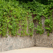Wild grapes on a stone wall — Stock Photo