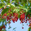 Berries ripe tasty bird cherry closeup — Zdjęcie stockowe