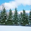 Winter landscape with fir trees — Stock Photo