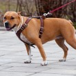 Staffordshire terrier for a walk — Stock Photo